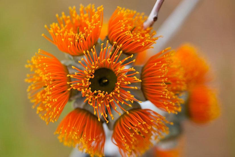 Oranger Wildflower