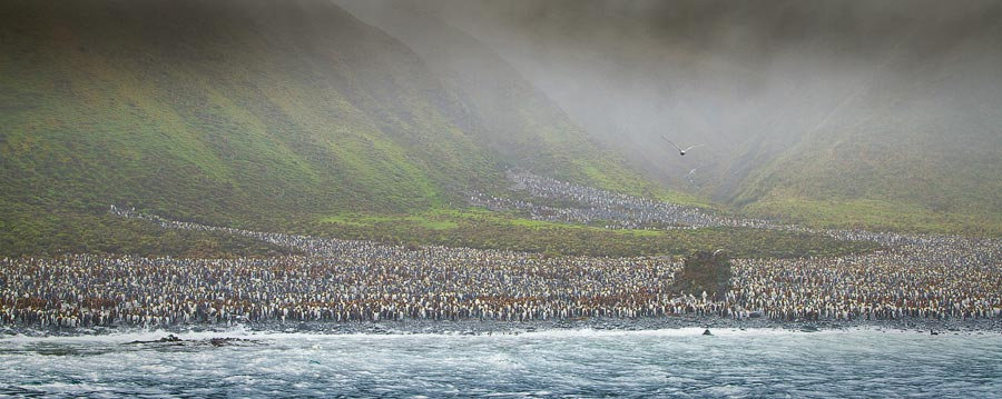 A huge waddle of Penguins