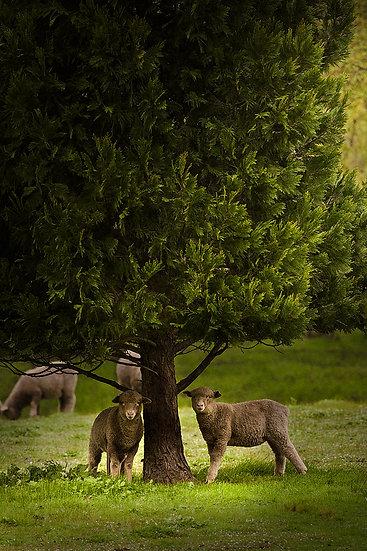 Sheep, Country Farm