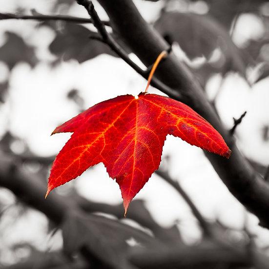 Red Autumn Leaf, Western Australia