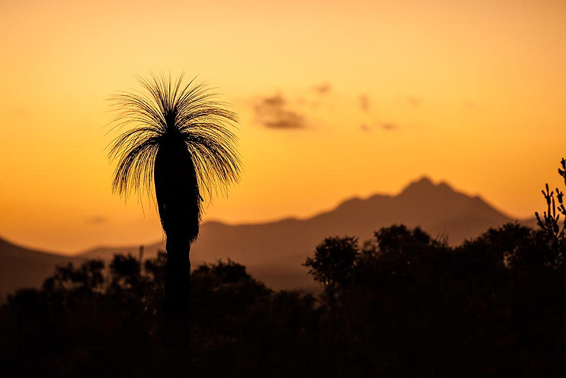 Grass tree silhouette, Bluff Knoll, Stirling Ranges, Great Southern, Australia
