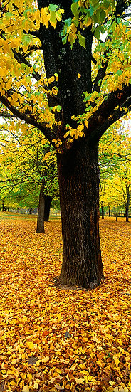 Yellow autumn tree, Bogong, Victoria, Australia