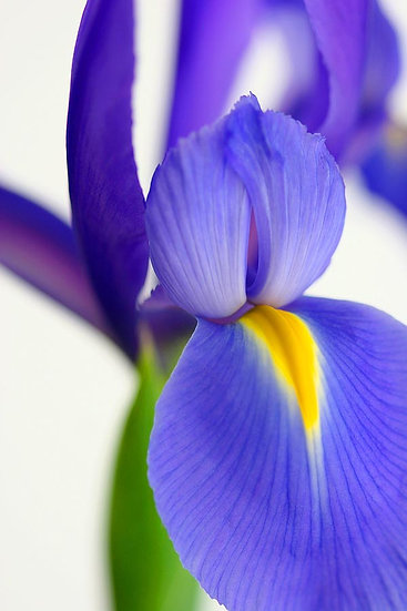 Flower, Purple Iris