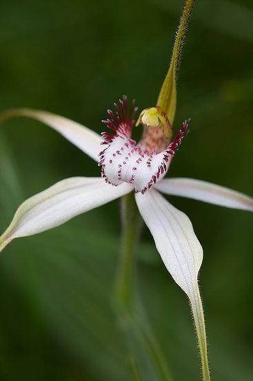 Flower, wildflower, orchid, South Western Australia