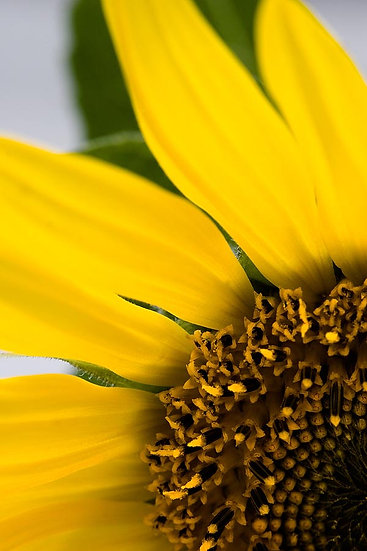 Flower,Sunflower