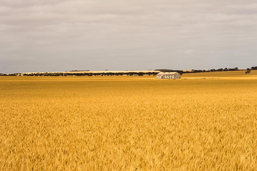 South Australian Wheat Farm