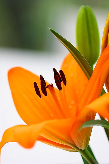 Flower, Orange Lily