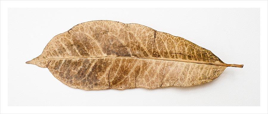 Decaying Frangipani Leaf