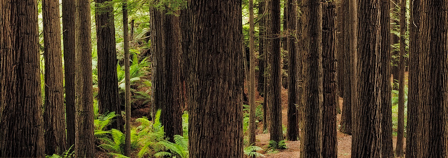 Redwood Trees in Victoria, Australia