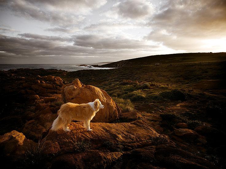 Fuji, border collie dog on the granite coast, Western Australia