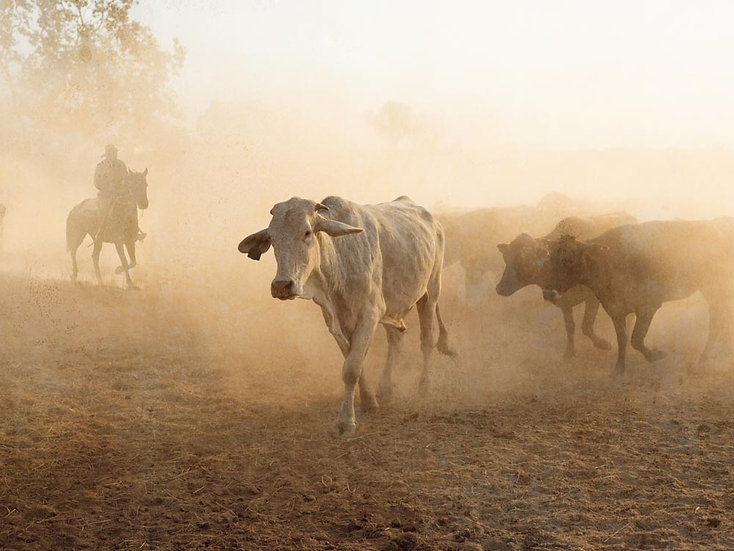Mustering the Cattle, Kimberley, North Western Australia