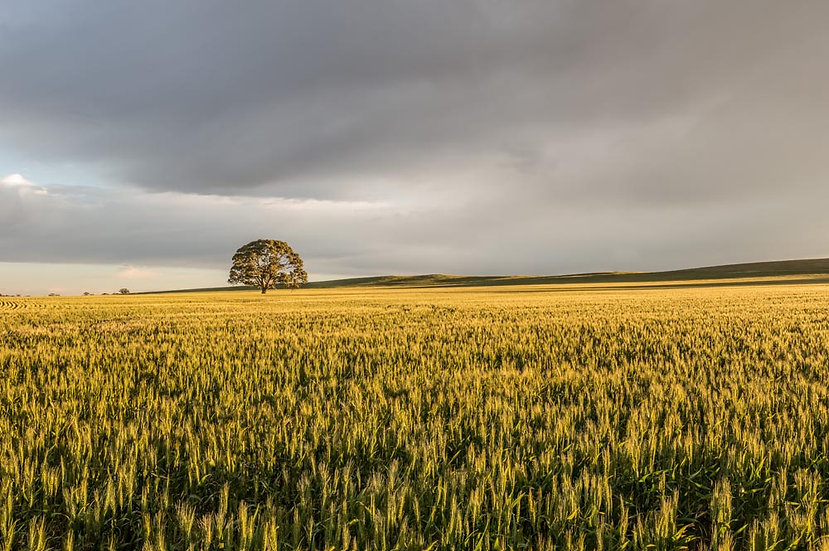Wheat farmland, Burra, Clare Valley, South Australia