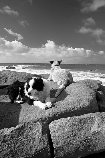 Dogs waiting for surfers at Point Piquet, Eagle Bay, South Western Australia