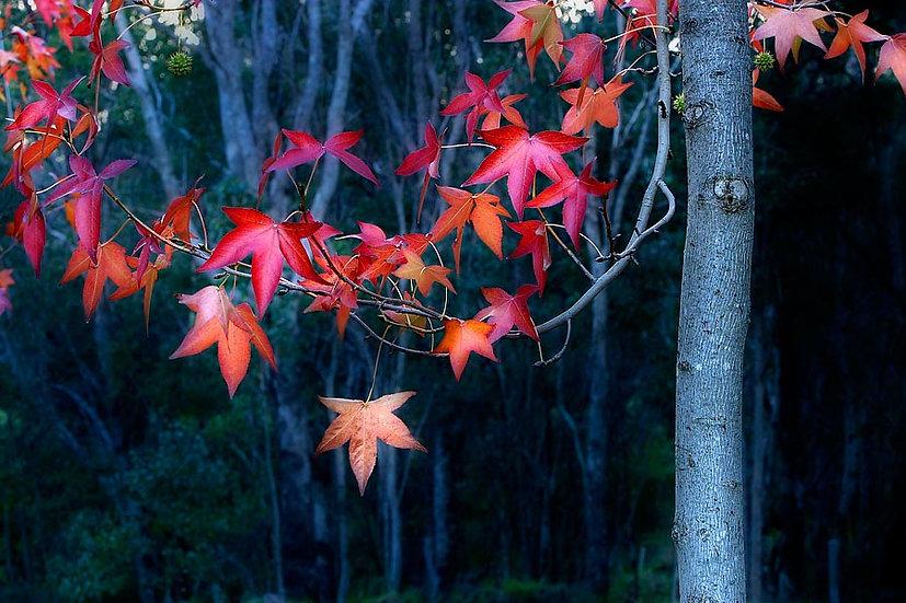 Liquid Amber, Nannup, South Western Australia