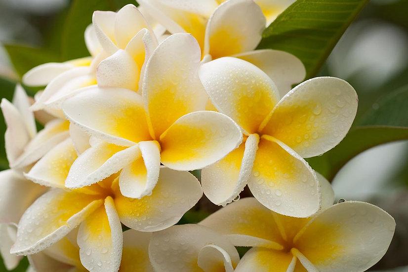 White Frangipanis flower