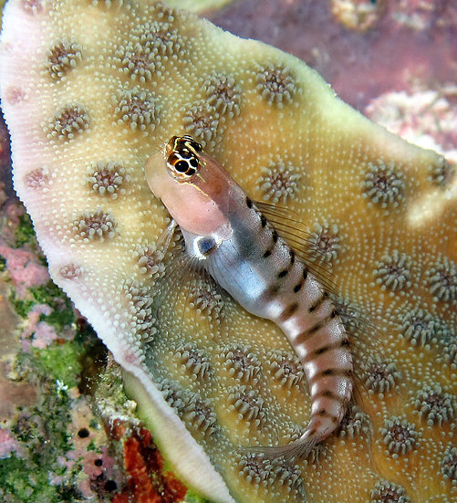 A Tiger Blenny