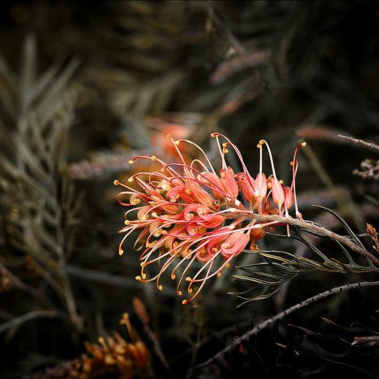 Grevillea, Australian Wild Flower