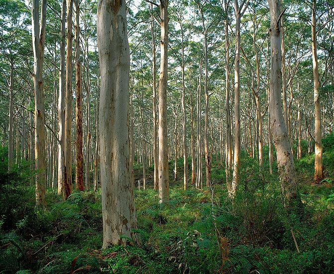 Boranup Karri Forest , Margaret River, South Western Australia