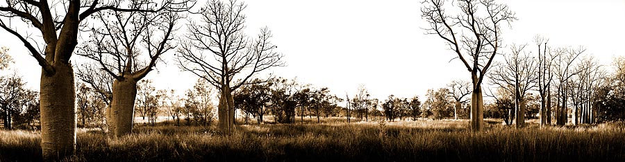 Boab Trees, Kimberley, North Western Australia