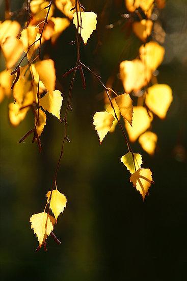 Silver Birch Tree Leaves, Autumn