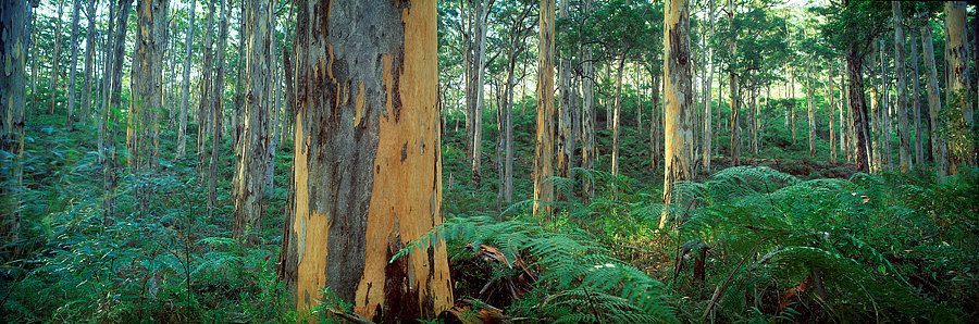Forest, Karri Tree, Boranup, Margaret River, South Western Australia