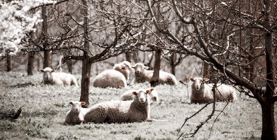 Sheep in an orchard.
