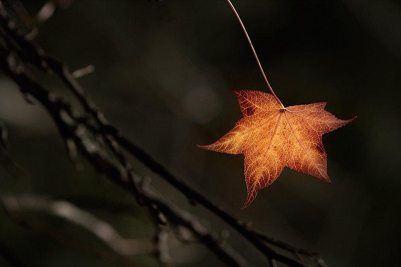 Autumn Leaf, Nannup, South Western Australia