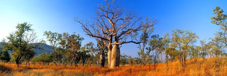 Boab Tree, Kununurra, Kimberley, North Western Austra