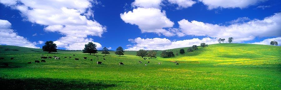 Cows Grazing on Farmland, Pemberton, South Western Australia
