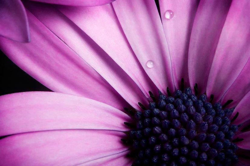 Flower, Purple Gerbera