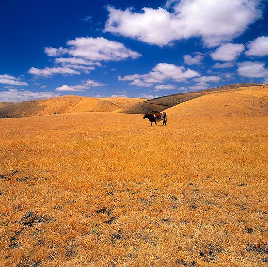 Cow, farmland in South Australia