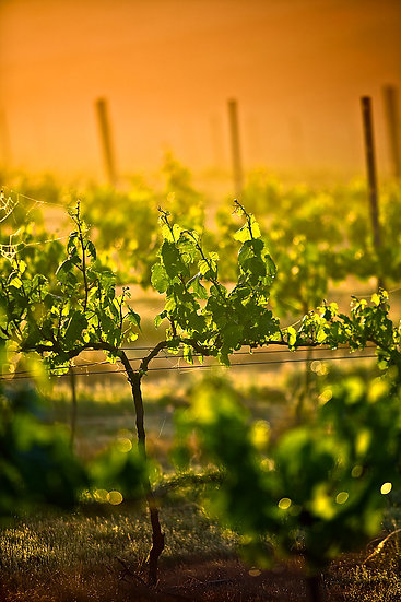 Grape vine, Margaret River, South Western Australia