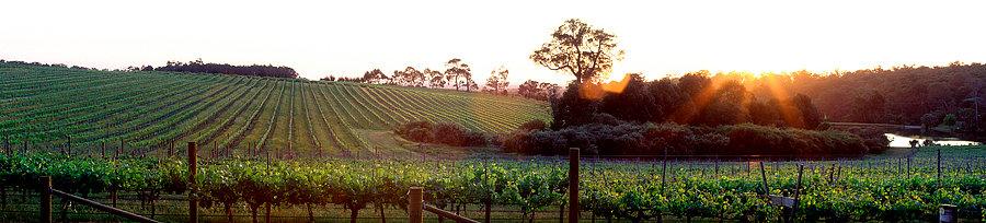 Grape vines, Amberley Estate Yallingup,, South Western Australia