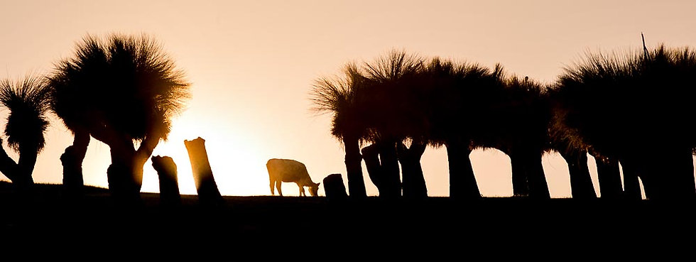 Cow and Grasstrees (Xanthorrhoea), silhouette
