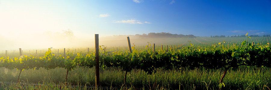 Grape Vines, Winery, Margaret River,  South Western Australia