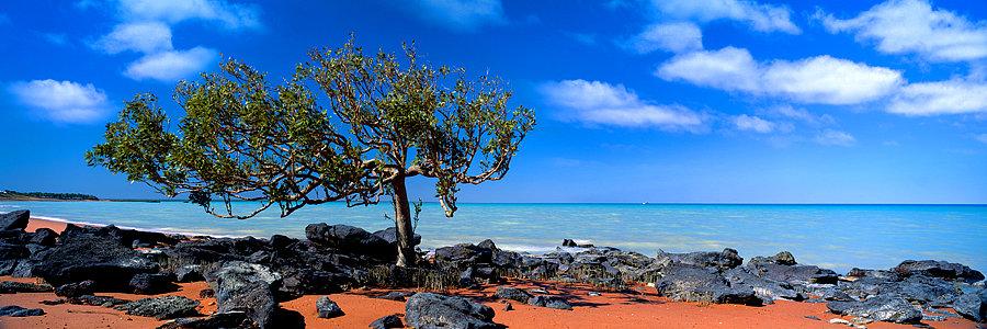 Mangrove Tree, Broome, Kimberley, North Western Australia