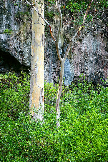Forest, Karri Tree, Boranup, Margaret River, South Western Australia