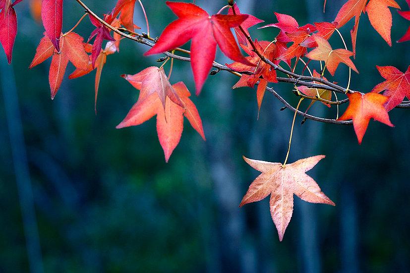 Liquid Amber tree, Autumn Leaf, Nannup, South Western Australia
