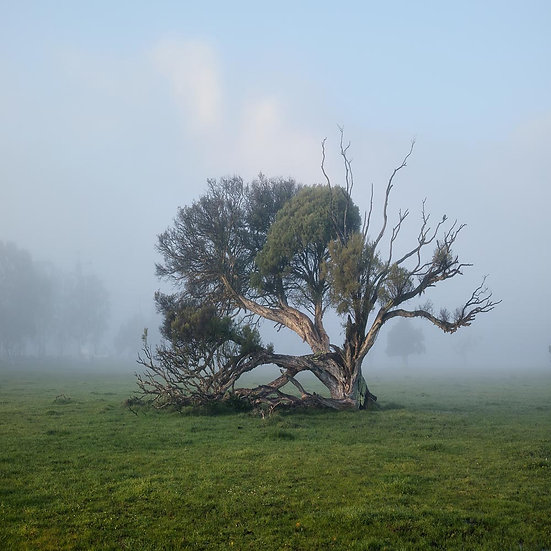 Morning Fog, Tree in Quindalup, South Western Australia