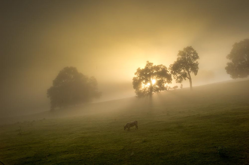 Early morning sunshine, fog and cows on farmland