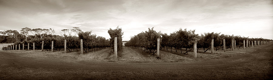 Grape vines at Redgate Winery, Margaret River, South Western Australia
