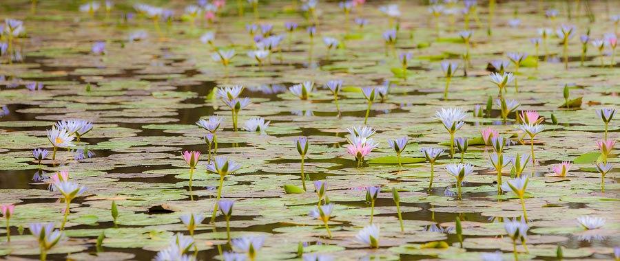Water lilies, Nymphaeaceae