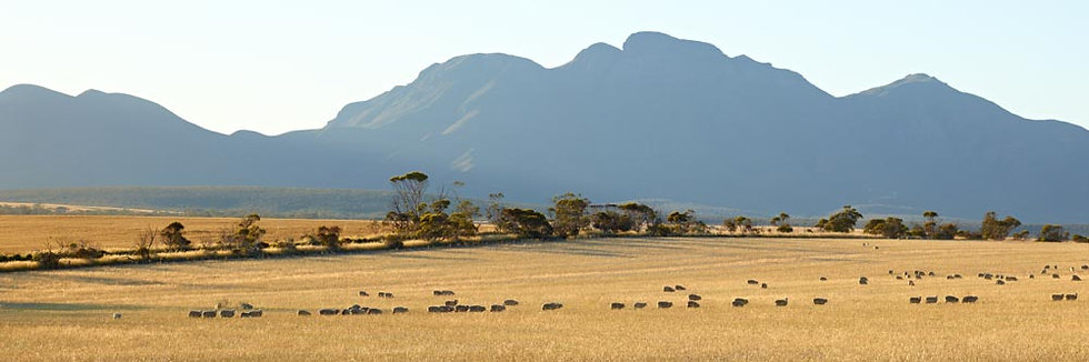 Flock of Sheep, Stirling Ranges. South Western Australia,