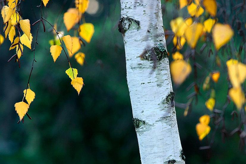 Golden Birch leaves in autumn