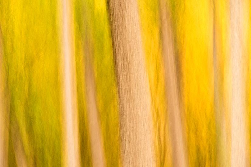 Aspen Tree Water Colour