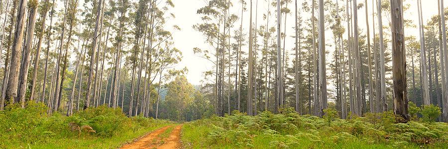Karri Forest, Pemberton, South Western Australia
