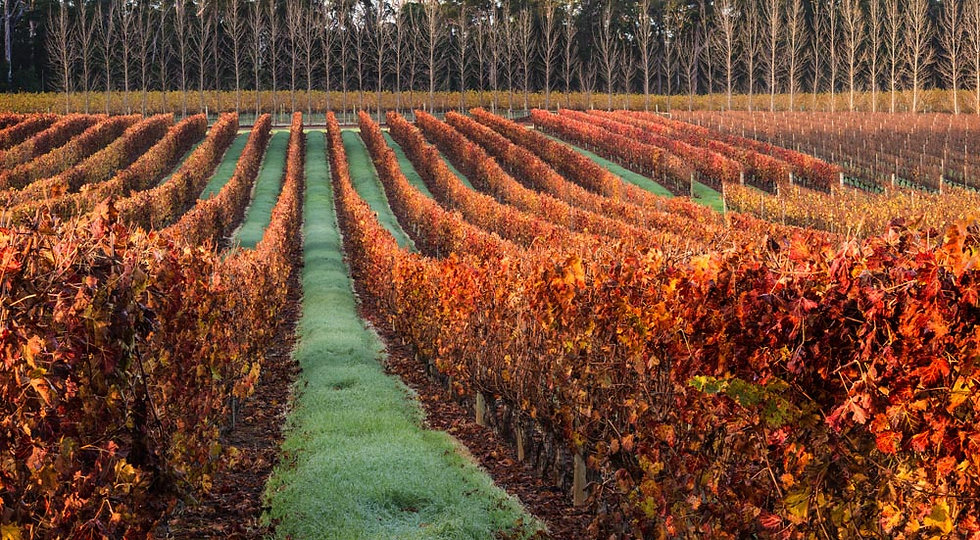 Autumn grape vines, winery
