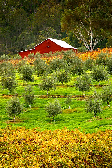 Farmland, olives and grapes, Nannup, South Western Australia