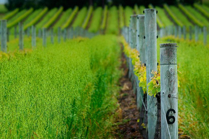 Vines, Vasse Felix, Margaret River, South Western Australia