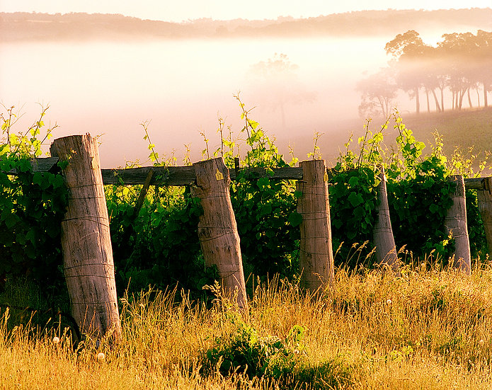 Grape vines in the fog, Wildwood Winery, Margaret River, South Western Australia